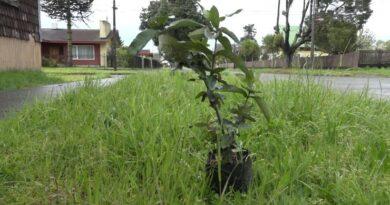 + árboles para Chile, Llanquihue