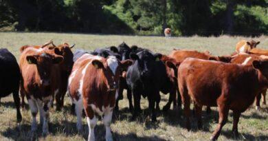 Ganaderos locales posicionan producción de carnes de libre pastoreo