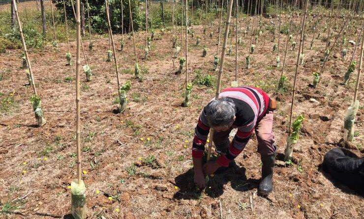 A un año de su ejecución pequeños agricultores valoran proyecto para la creación de viñas